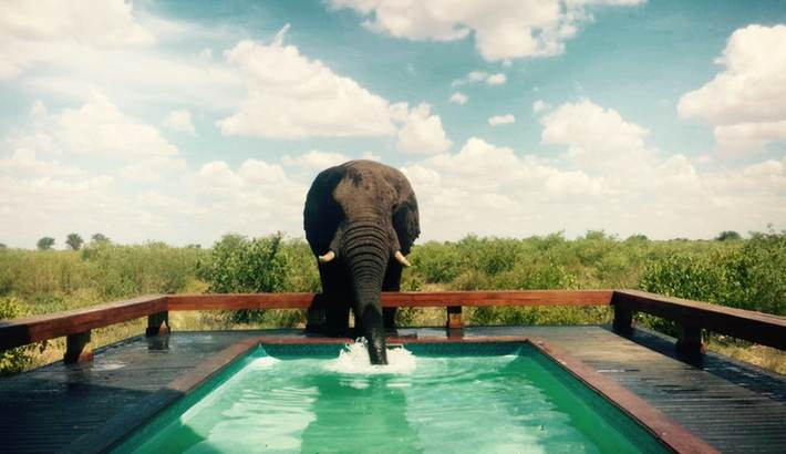 Elephant drinking from suite pool