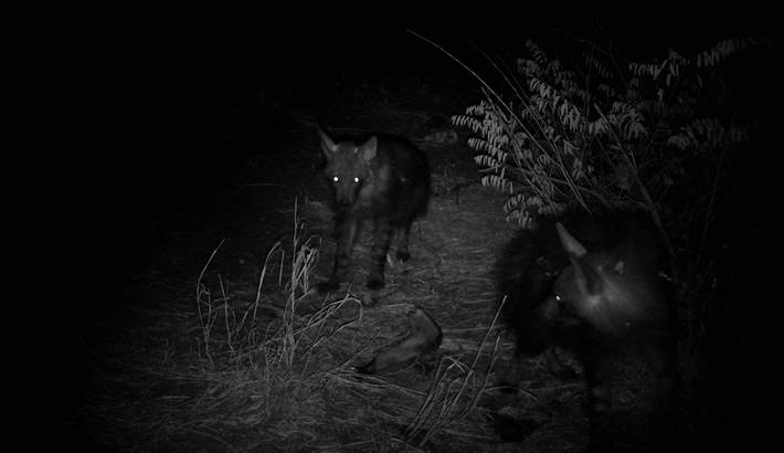 Brown hyena photographed by camera trap