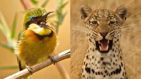 Bee-eater and leopard