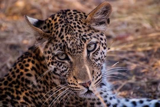 Leopard, Khwai