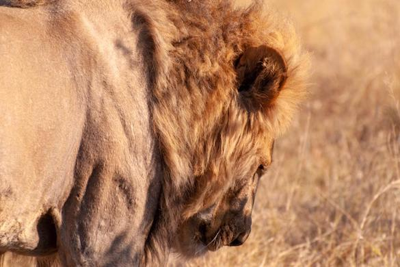 Lion, Khwai