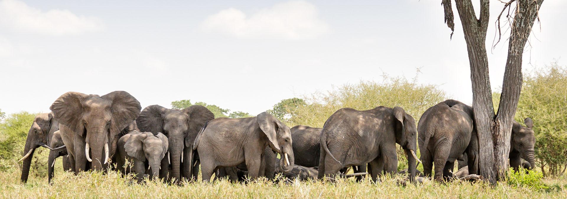 Elephants savannah