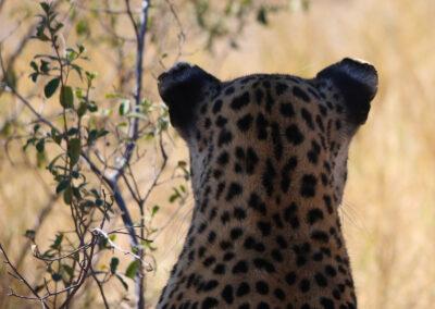 Magical-encounters-leopard