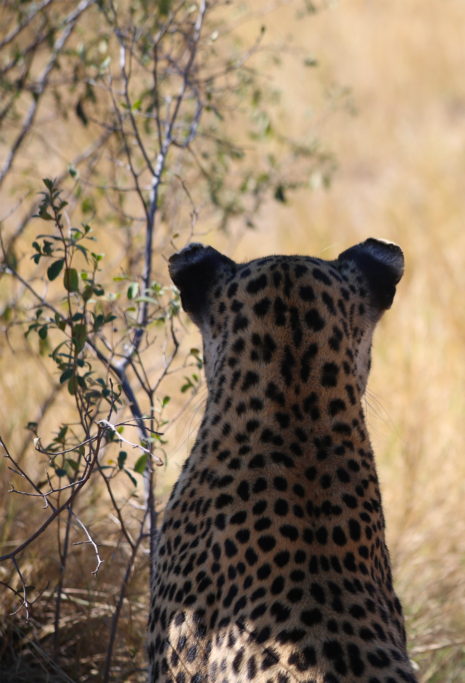 Magical-encounters-leopard