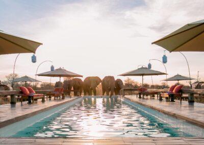 elephants pool feline fields