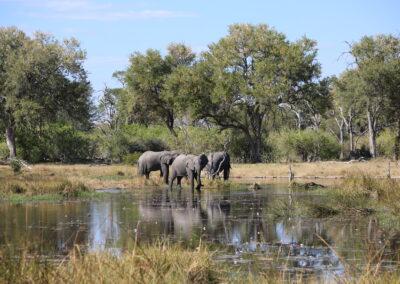 Elephant Khwai